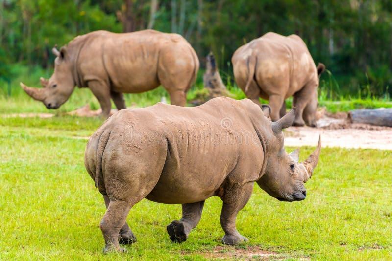 Южный белый носорог, угрожаемые африканские родные животные стоковая фотография rf