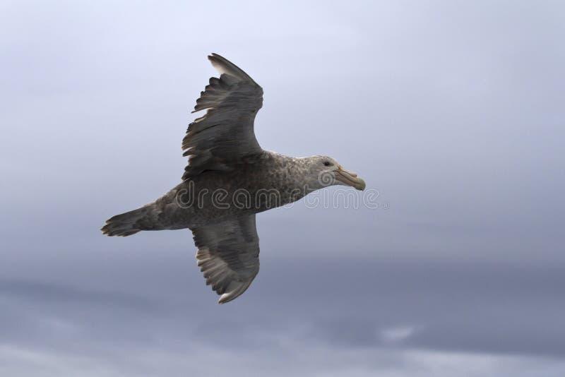 Южный гигантский буревестник летая над южным океаном на пасмурном стоковые изображения