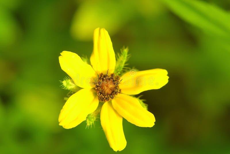 Южный каменный полевой цветок семени стоковые изображения