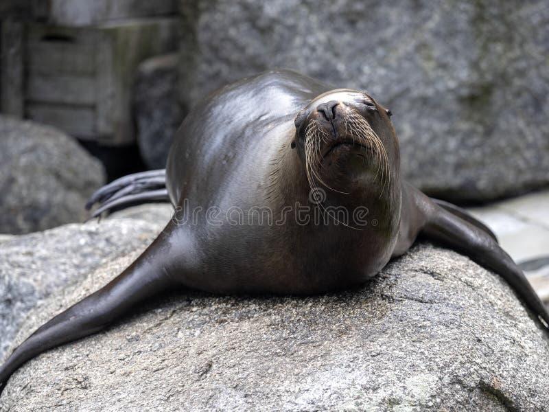 Южный морской лев, byronia Otaria, лежит на валуне водой стоковые фото