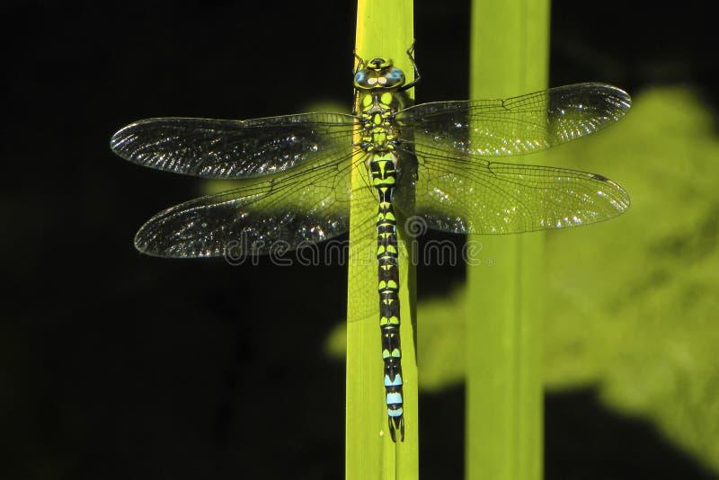 Южный dragonfly лоточницы, cyanea Aeschna стоковое фото rf