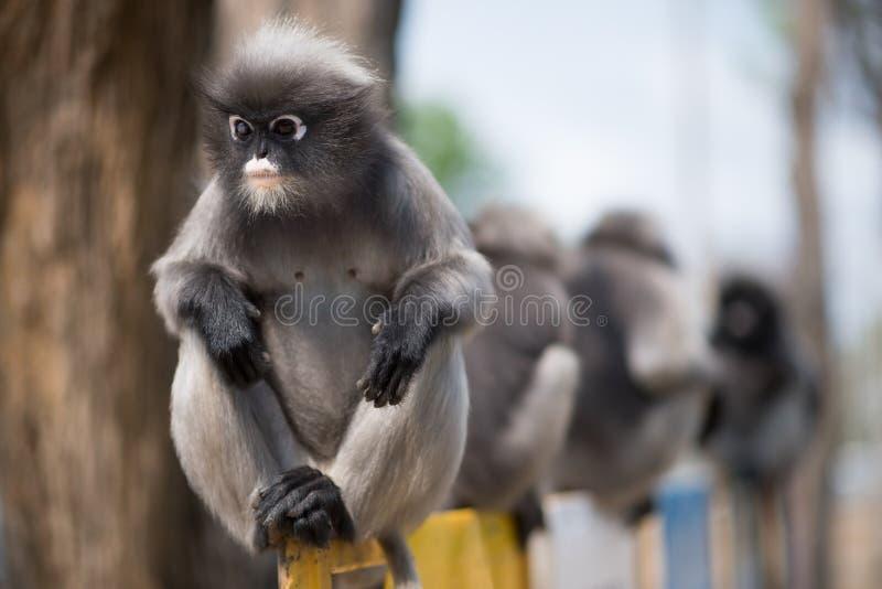 Южный Langur или Dusky обезьяна лист резиденты в obscurus Таиланда Trachypithecus, селективном фокусе стоковое фото