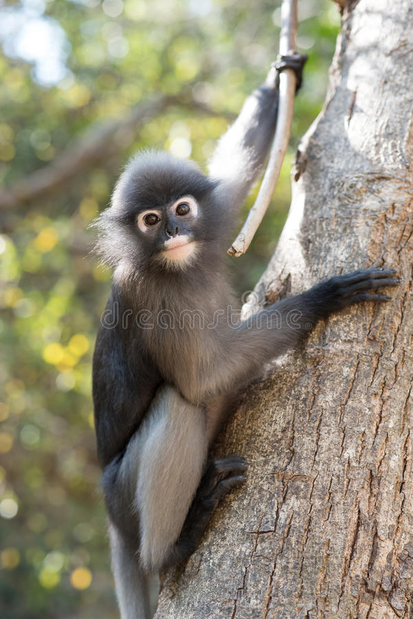 Южный Langur или Dusky обезьяна лист резиденты в obscurus Таиланда Trachypithecus, селективном фокусе стоковые фото