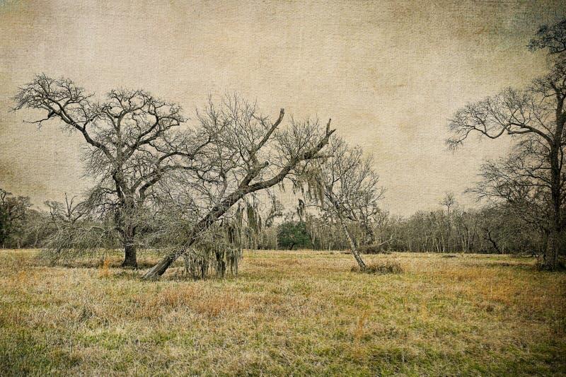 3 южных дуба в реальном маштабе времени в луге Техаса стоковые изображения rf