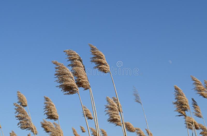 Юркните сухие тростники Чащи сухого стоковое фото rf