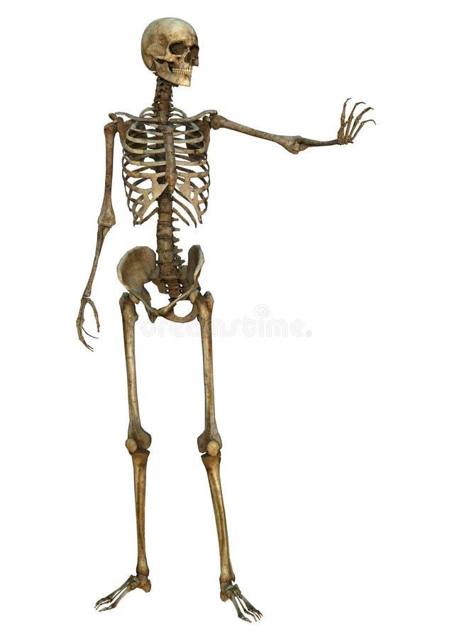 Download людской скелет иллюстрация штока. иллюстрации насчитывающей график - 41655706