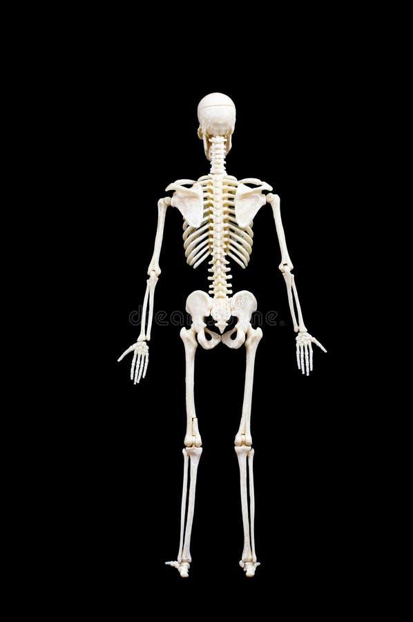 людской скелет стоковые фото
