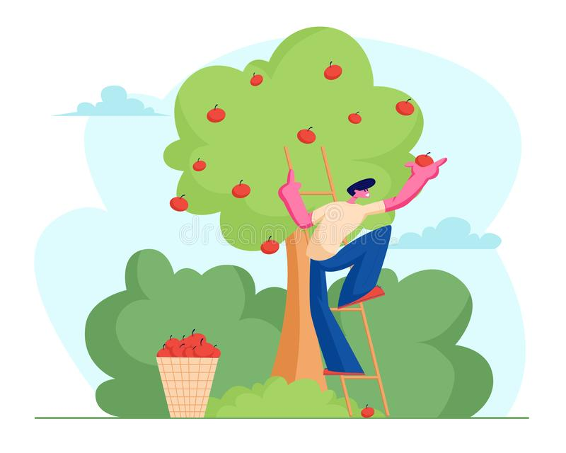Яблоки выбора фермера человека к корзине Мужской характер садовника жать зрелые плоды от зеленого органического дерева в саде стр иллюстрация вектора