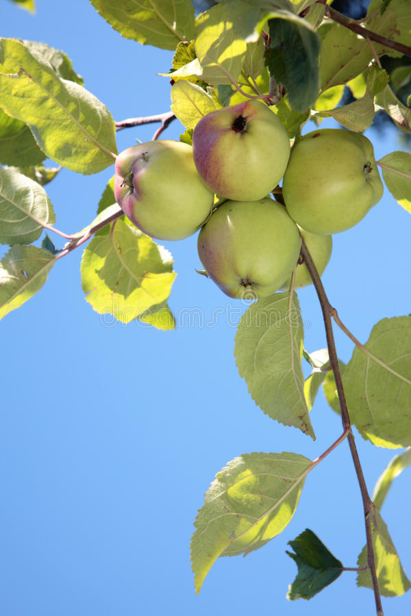 яблоки зрелые стоковое фото rf