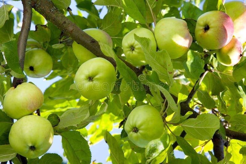 яблоки зрелые стоковое изображение rf