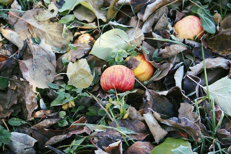 Яблоки и красочные осколки выходят на улицу в сельской местности Осенняя природа - сезонные данные стоковые изображения