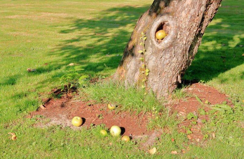 Яблоки и полость ствола дерева стоковые фото