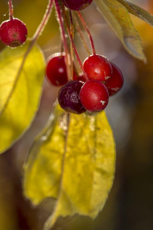 Яблоки краба и желтые листья стоковое фото