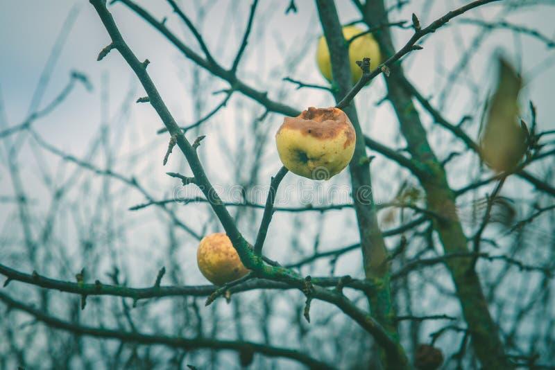 Яблоки на дереве без листьев стоковое изображение rf