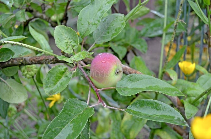 Яблоки на конце ветви вверх стоковые фото