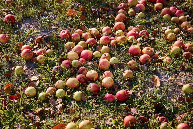 Яблоки на том основании под яблоней во время осени стоковые изображения rf