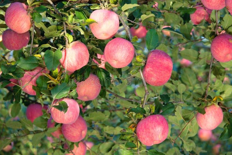 Яблоки Фудзи стоковые фото