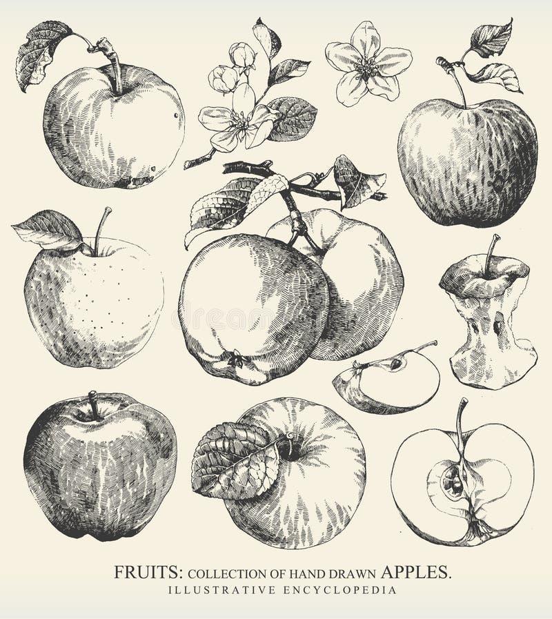 Яблоки. иллюстрация вектора