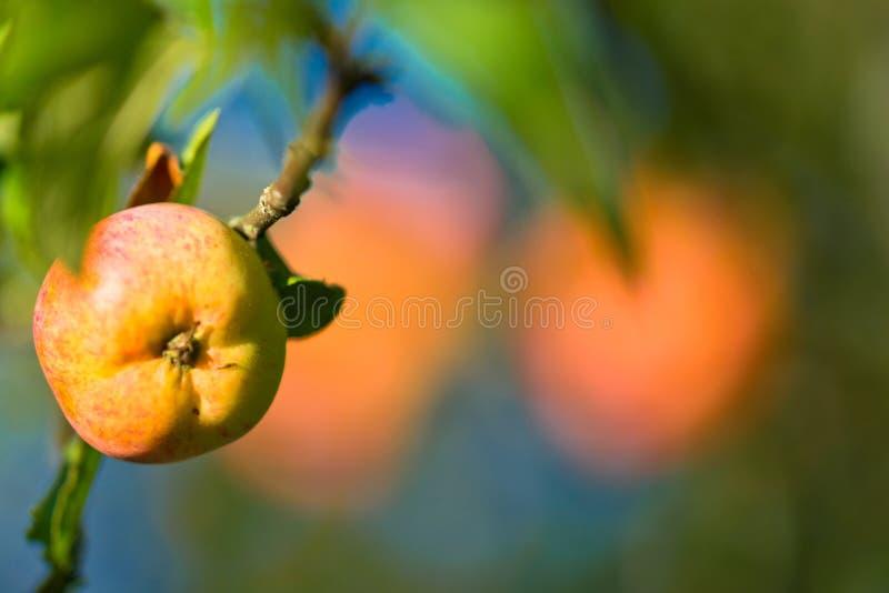 яблоко зрелое стоковые фото