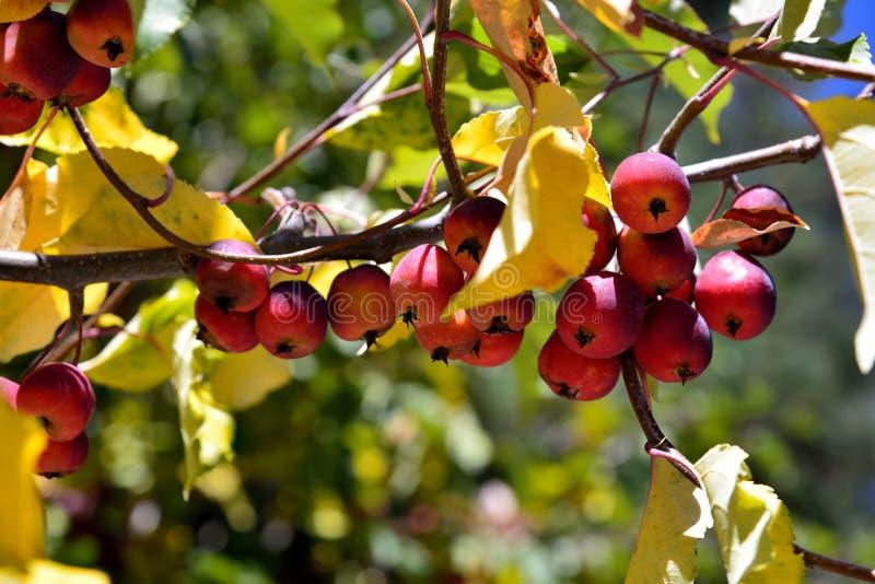 Яблоко и яблоня на ферме стоковые изображения