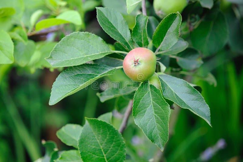 яблоко краснеет английский зеленый красный зреть стоковые изображения rf