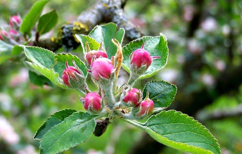 Яблоко цветет в конце вверх стоковые фото