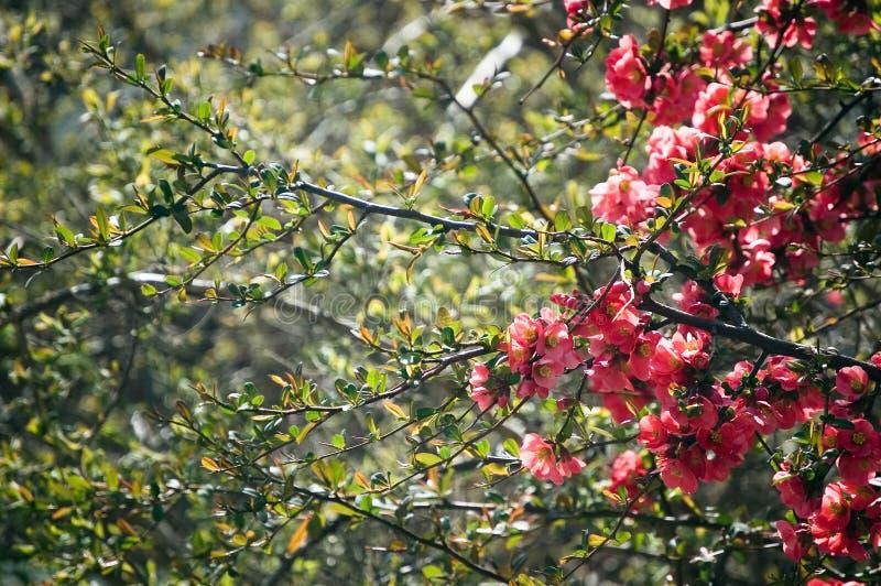 яблоко цветет красная весна стоковые фотографии rf