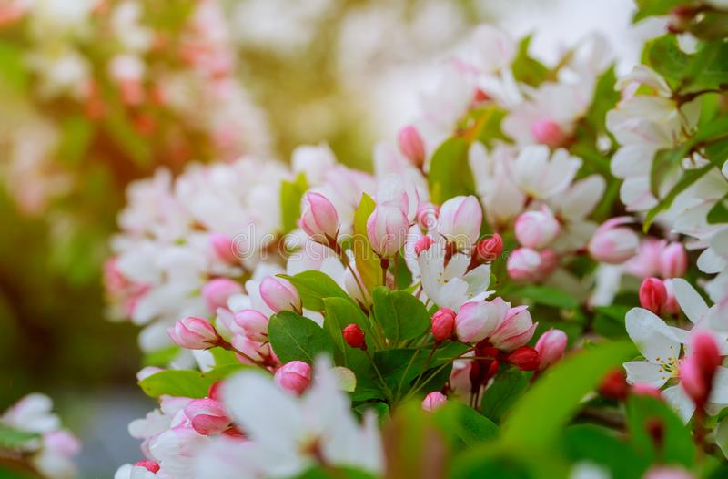 Яблоко цветет над запачканными цветками весны предпосылки природы стоковые фотографии rf