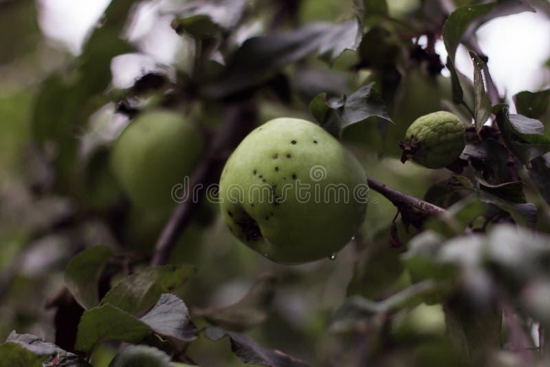 Яблони в саде Архитектура в природе стоковое изображение