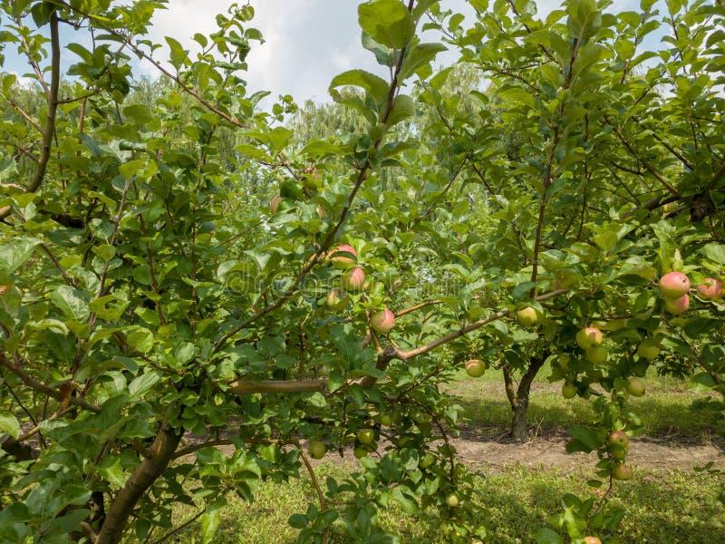 Яблони с незрелыми органическими плодоовощами в саде на солнечный день стоковая фотография rf