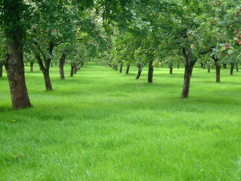 яблони стоковое фото