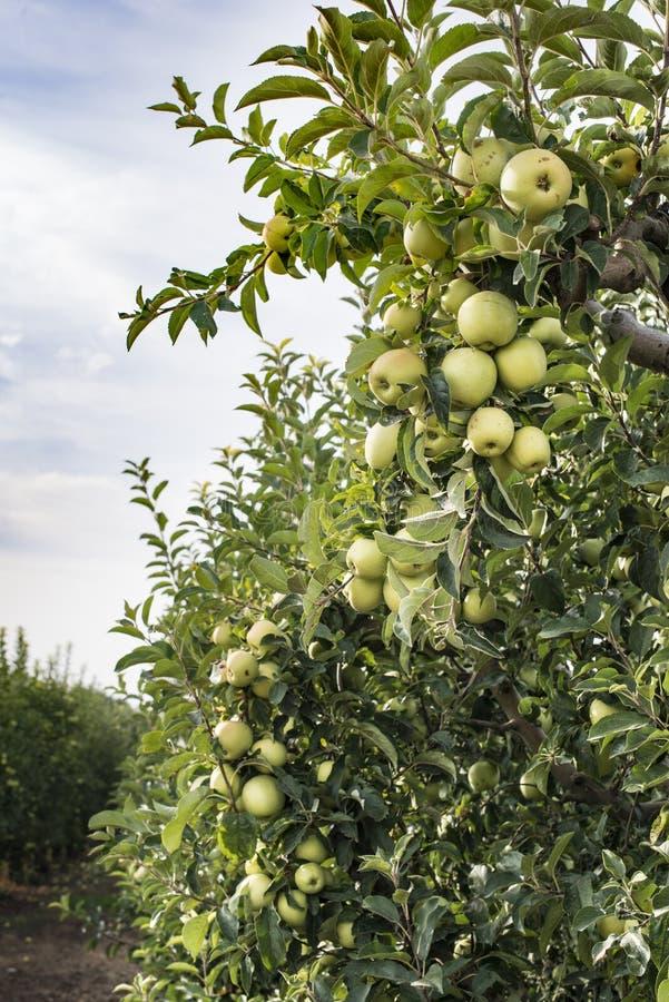 Яблонь в саде стоковое фото rf