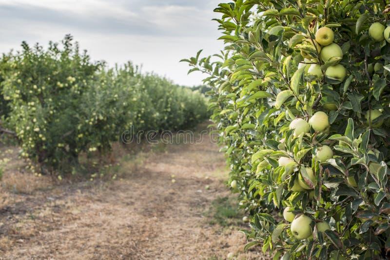 Яблонь в саде стоковое изображение