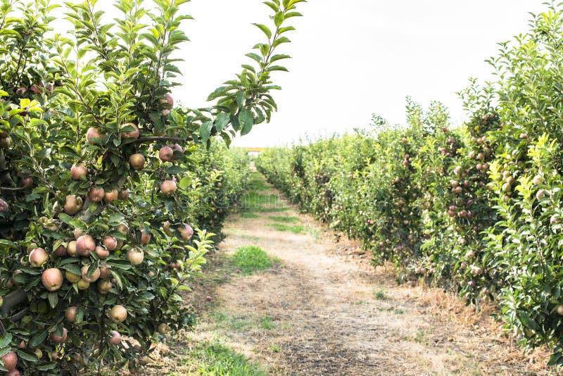 Яблонь в саде стоковое фото