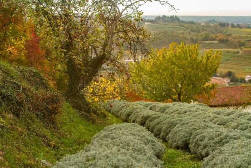 Яблоня в поле лаванды стоковое изображение rf