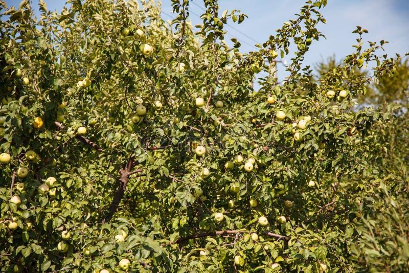 Яблоня с зелеными яблоками стоковое изображение