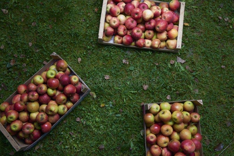 Яблоки в саде деревянной коробки осенью стоковые фото