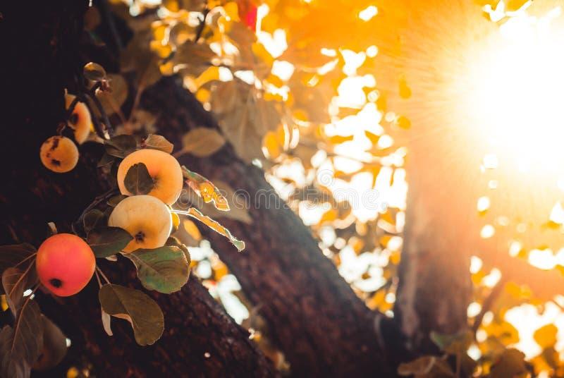 Яблоки в саде стоковое фото