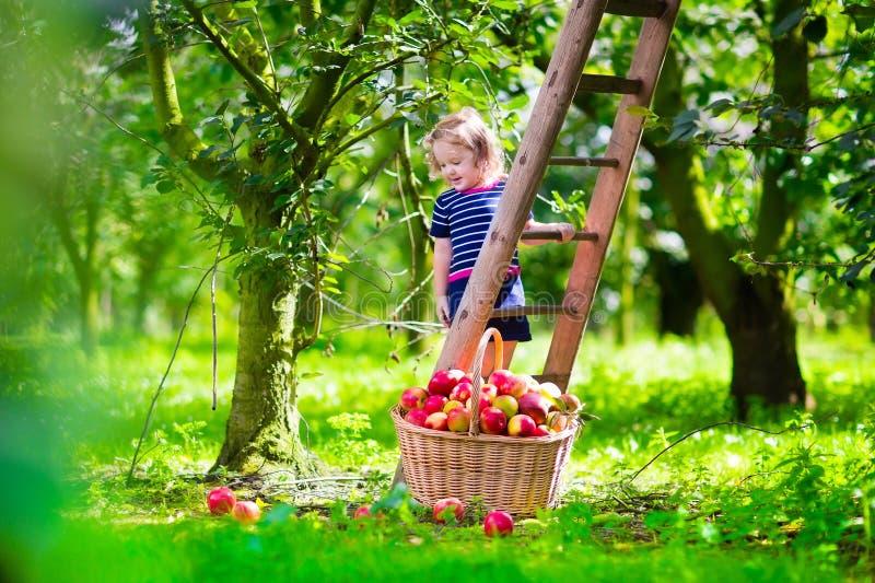 Яблоки рудоразборки маленькой девочки на ферме стоковое фото rf