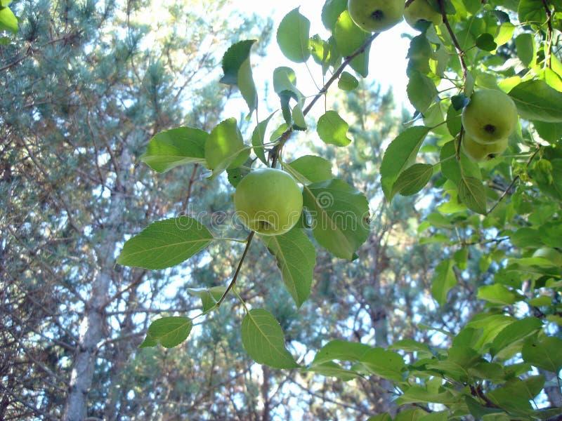 Яблоко и сосны стоковые фотографии rf