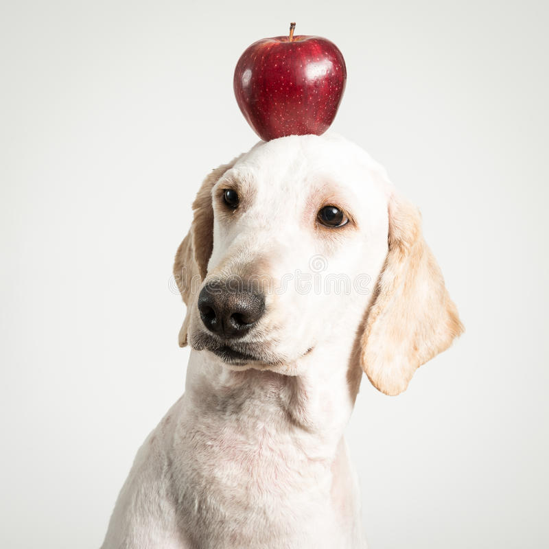 Яблоко на голове собаки стоковые фотографии rf