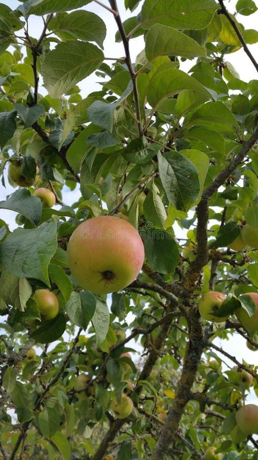 Яблоко на дереве ждать быть выбранным стоковое изображение