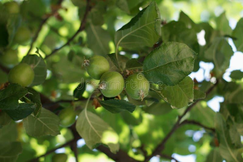 Яблоневые сады стоковая фотография rf