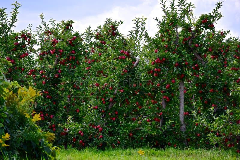 Яблоневые сады Wayne County Нью-Йорк стоковое изображение