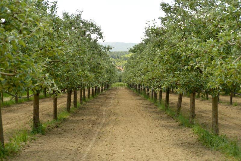 Яблоневый сад в июне стоковое фото