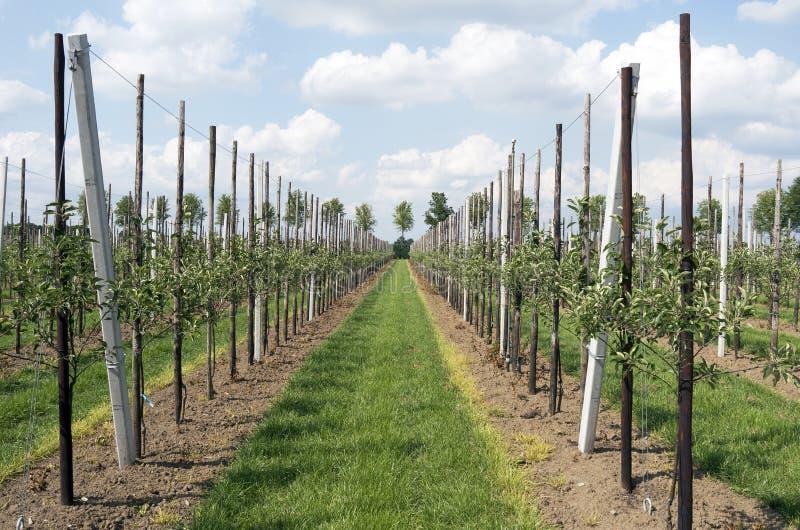 Яблони в саде стоковые изображения
