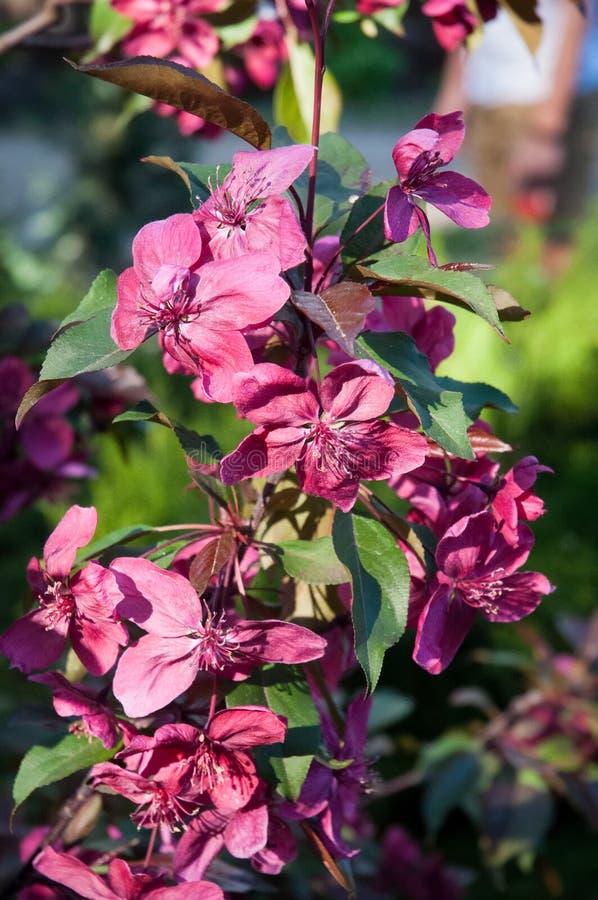 Яблони красивого розового цветка декоративные стоковая фотография rf