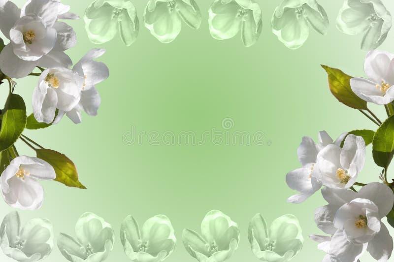 Яблоня белых цветков рамки стоковая фотография