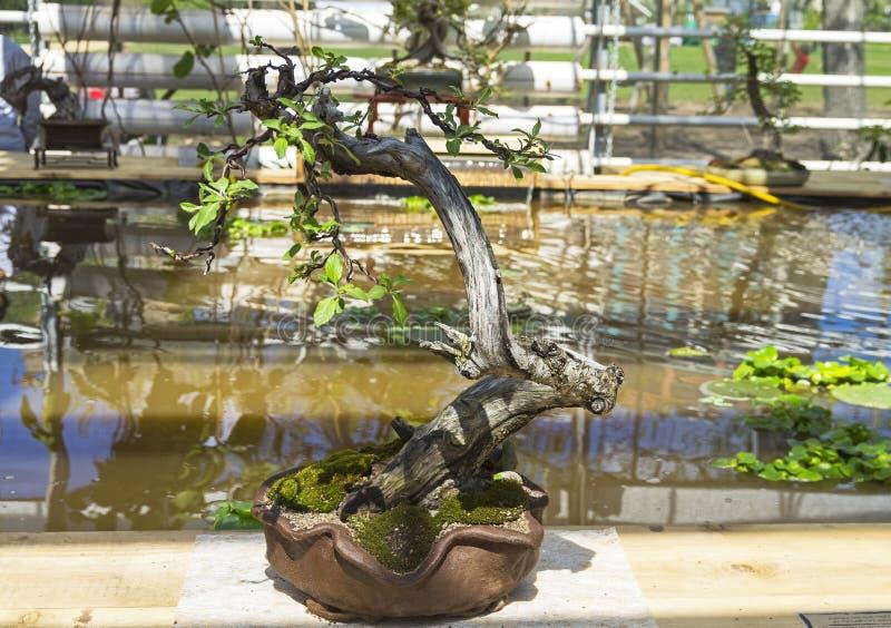 Яблоня - бонзай в стиле стоковое изображение