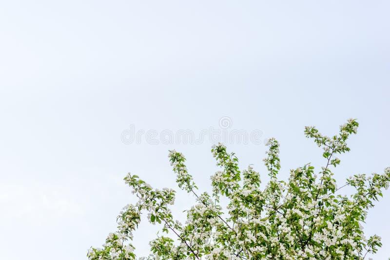 Яблоня в цветении стоковое фото